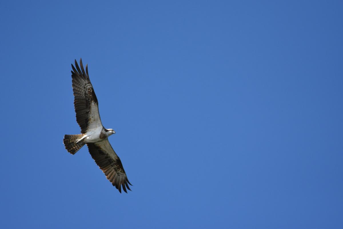 Kalasääksi lentää